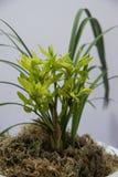 Bloeiende orchideeën Stock Afbeeldingen