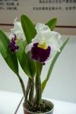 Bloeiende orchideeën Stock Fotografie