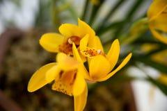 Bloeiende orchideeën Stock Foto's