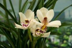 Bloeiende orchideeën Royalty-vrije Stock Afbeeldingen