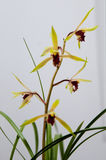 Bloeiende orchideeën Royalty-vrije Stock Foto's
