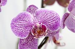Bloeiende orchideeën Stock Afbeelding