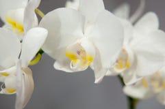 Bloeiende orchideeën Royalty-vrije Stock Afbeelding