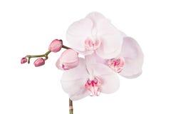Bloeiende orchidee Royalty-vrije Stock Afbeeldingen