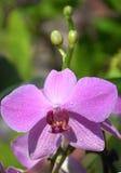 Bloeiende orchidee Royalty-vrije Stock Fotografie