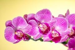 Bloeiende orchidee Royalty-vrije Stock Foto