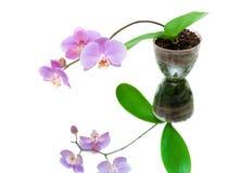 Bloeiende orchidee met bezinning over witte achtergrond Royalty-vrije Stock Afbeelding