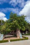 Bloeiende oude baobabboom royalty-vrije stock foto