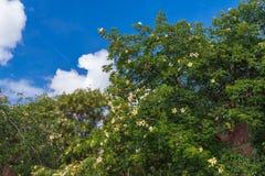 Bloeiende oude baobabboom royalty-vrije stock afbeeldingen