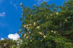 Bloeiende oude baobabboom stock foto's