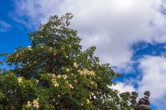 Bloeiende oude baobabboom stock afbeeldingen