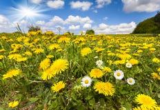 Bloeiende paardebloemen en camomiles in de zomer Stock Foto's