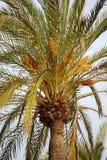 Bloeiende palm Stock Foto