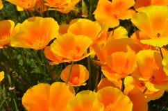 Bloeiende papaver, de lente Royalty-vrije Stock Foto's