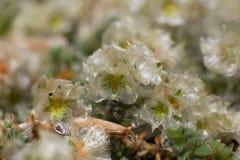 Bloeiende Paronychia-installatie Royalty-vrije Stock Foto's