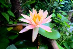Bloeiende pastelkleurlotusbloem Royalty-vrije Stock Afbeelding