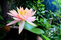 Bloeiende pastelkleurlotusbloem Stock Afbeelding