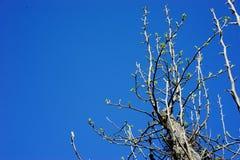 Bloeiende perenboom met nieuwe groene knoppen Stock Foto