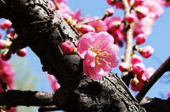 Bloeiende perzik Stock Afbeeldingen