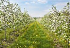 Bloeiende perzikbomen Royalty-vrije Stock Afbeeldingen