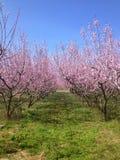 Bloeiende perzikbomen in de lente Royalty-vrije Stock Foto's