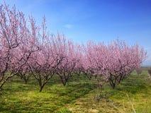 Bloeiende perzikbomen in de lente Royalty-vrije Stock Afbeelding