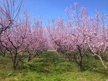 Bloeiende perzikbomen in de lente Stock Fotografie