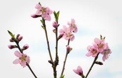 Bloeiende perzikboom op de tuinachtergrond Stock Fotografie