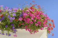 Bloeiende petunia op blauwe hemelachtergrond Royalty-vrije Stock Afbeeldingen