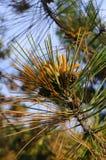 Bloeiende pijnboom in de lente Geel stuifmeel kegels royalty-vrije stock afbeelding