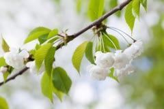Bloeiende plumleaf krabappel, Chinese appeltak De sierboom van Malusprunifolia met witte bloemen De de lentetijd… nam bladeren, n stock afbeeldingen