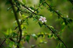 Bloeiende pruimbomen De eerste de lentebloemen stock foto's