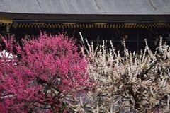 Bloeiende pruimbomen en oud heiligdom, Kyoto Japan Royalty-vrije Stock Foto's