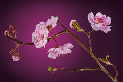 Bloeiende pruimboom Stock Fotografie