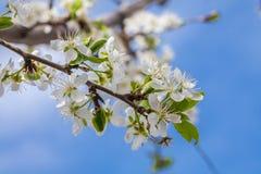Bloeiende pruimboom Royalty-vrije Stock Foto's