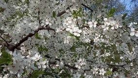 Bloeiende pruimboom in de lente Witte bloemenslingering in de wind