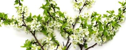 Bloeiende pruimtakken op het witte achtergrond de lente bloeien van fruitbomen royalty-vrije stock fotografie
