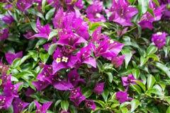 Bloeiende purpere bloem, nyctaginaceae van bougainvilleaglabra van Brazilië stock foto