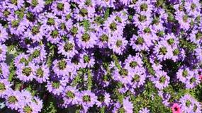 Bloeiende Purpere Bloemen met Groene bladeren stock foto's