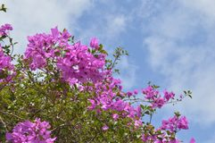 Bloeiende purpere bougainvilleaboom Royalty-vrije Stock Foto