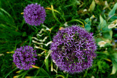 bloeiende purpere illiumbloem Stock Afbeelding