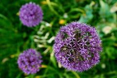 bloeiende purpere illiumbloem Royalty-vrije Stock Foto's