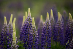 Bloeiende purpere lupine in natuurlijke habitat Stock Afbeeldingen
