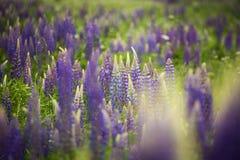 Bloeiende purpere lupine in natuurlijke habitat Royalty-vrije Stock Afbeelding