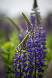 Bloeiende purpere lupine in natuurlijke habitat Stock Foto's
