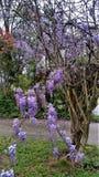 Bloeiende purpere wisteriawijnstok die op gastheerboom slepen in de Lente Royalty-vrije Stock Afbeeldingen
