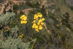 Bloeiende reuze gele paardebloem en bijen die rond nectar vliegen op te nemen Sluit omhoog, selectieve nadruk Bosbergen van Tener stock afbeeldingen
