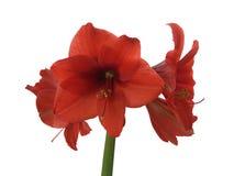 Bloeiende rode amaryllis Stock Afbeeldingen