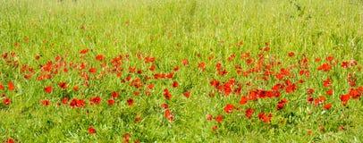 Bloeiende rode anemonen Stock Foto