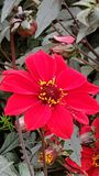 Bloeiende rode bloem royalty-vrije stock foto's